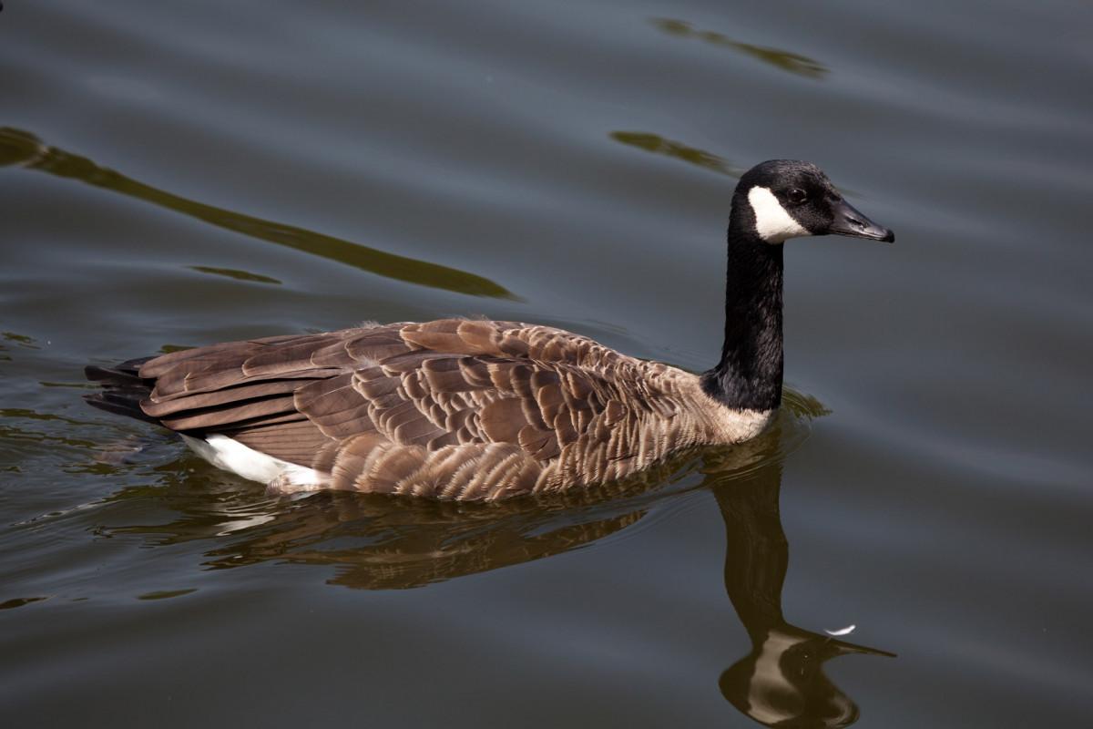 free images wing female wildlife beak fauna swimming birds
