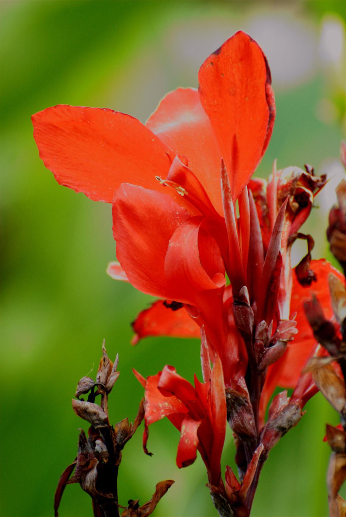kostenlose foto blatt blume bl tenblatt rot herbst botanik flora wildblume blumen. Black Bedroom Furniture Sets. Home Design Ideas