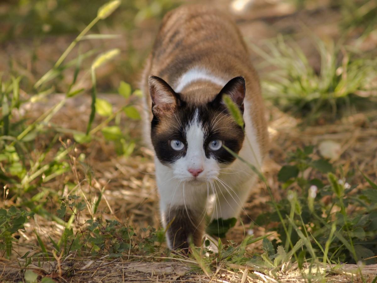 Sorrelpelt of ThunderClan Cat_animals_domestic_cat_nature_felines_walks_feline_spotted-664129