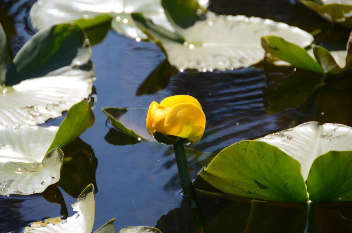 Free images nature leaf flower petal pond green for Pond aquatics