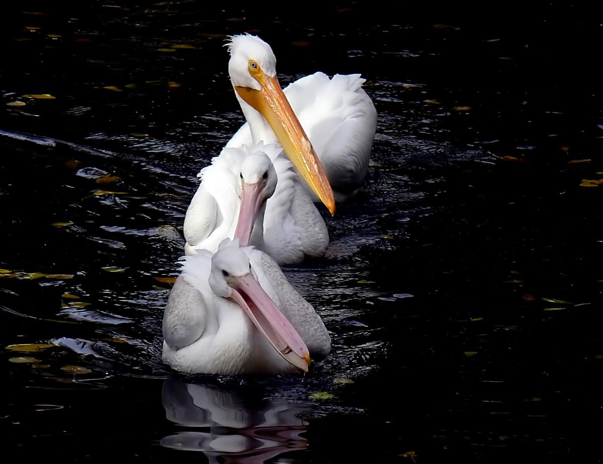 картинка пеликана смотрящего вправо