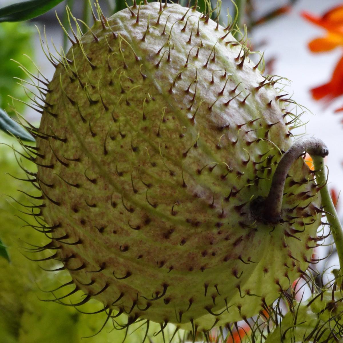 botany durian Durian (durio zibethinus) er frugt der gror i sydøstasien den har en gennemtrængende lugt, og smagen er sødlig og fad durian omtales også som frugternes konge.