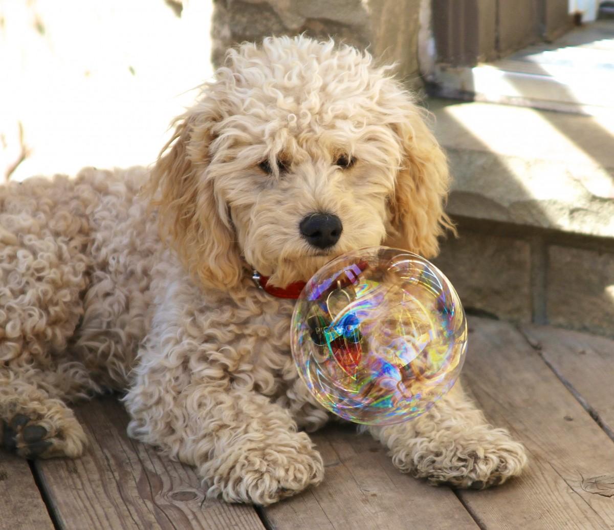 Free Images Vertebrate Dog Breed Cavapoo Miniature