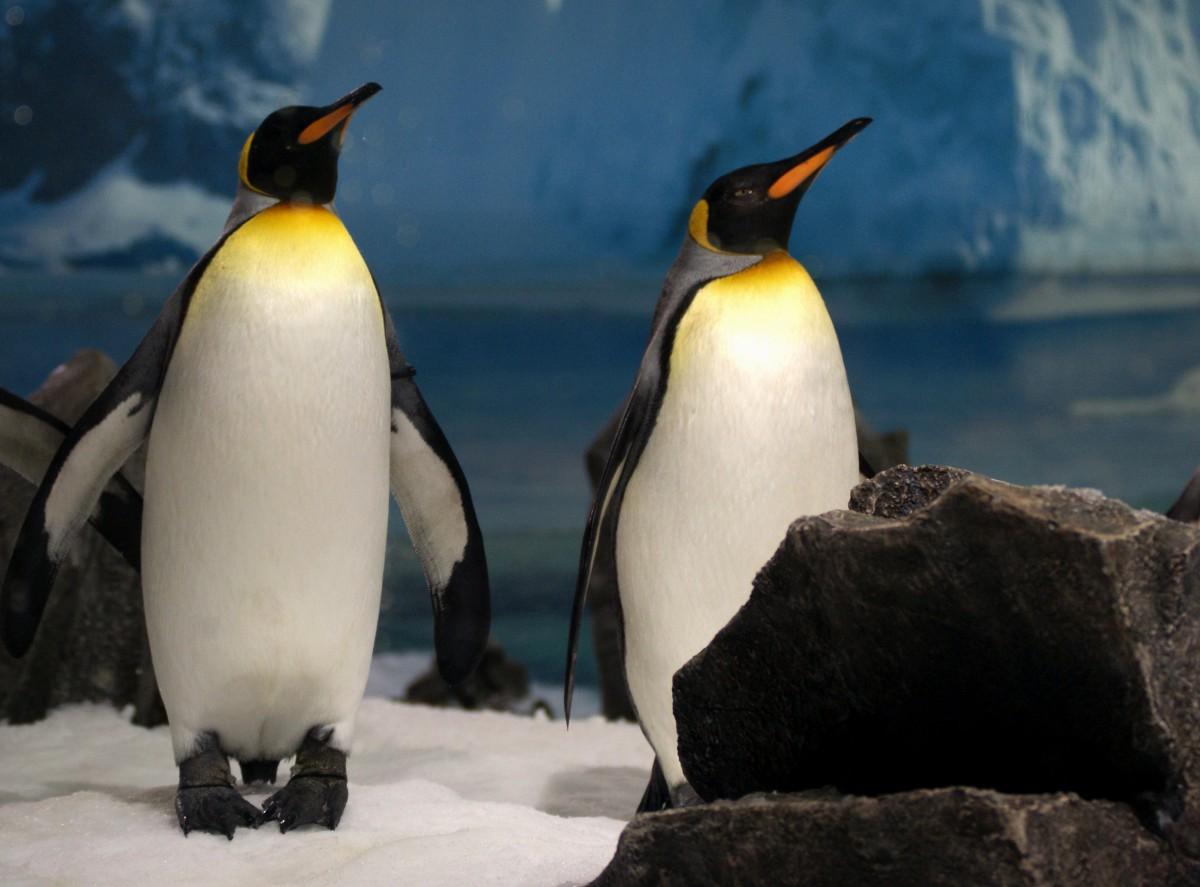 koleksi terpopuler 49 gambar sketsa hewan pinguin