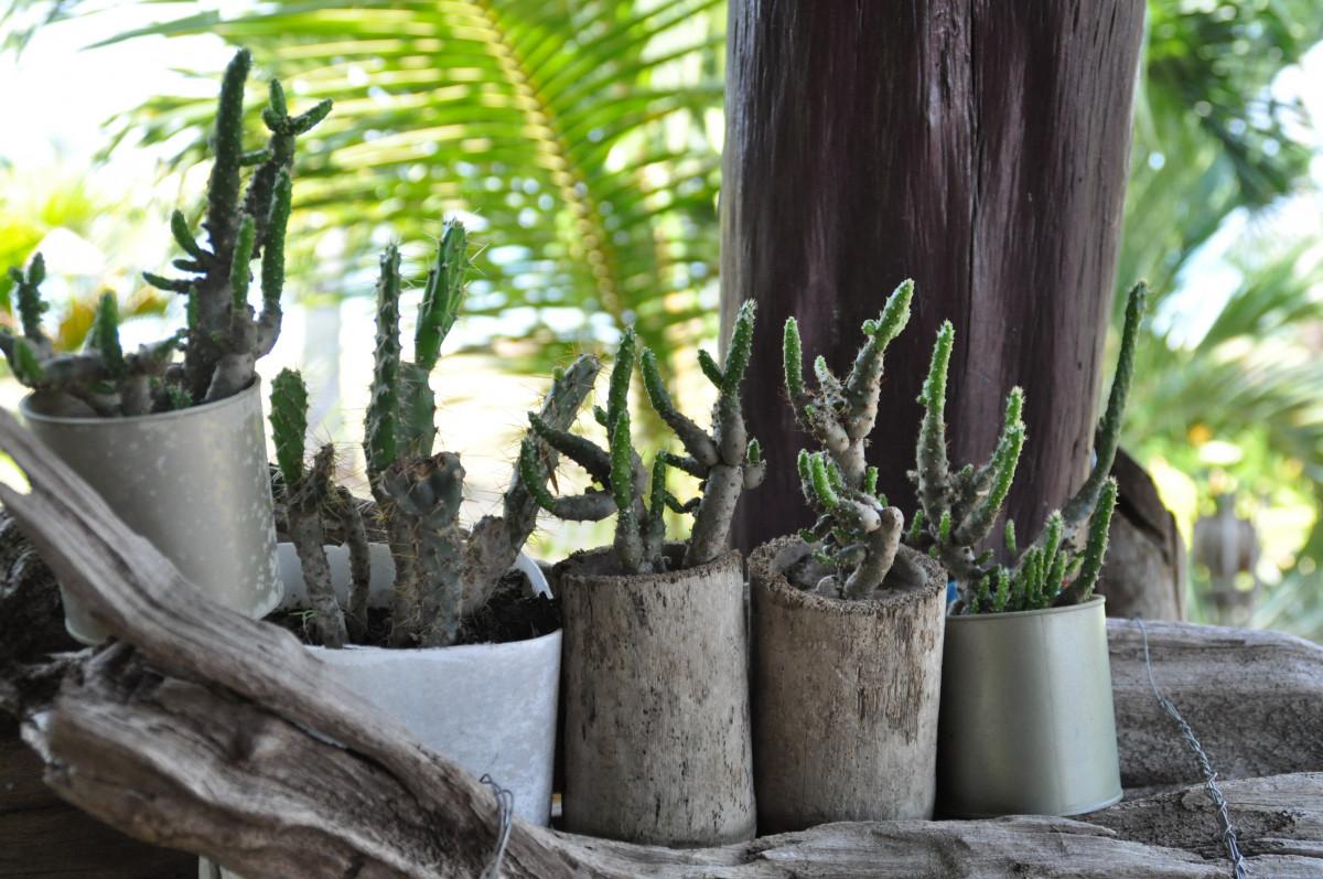 Kostenlose foto baum kaktus blume asien botanik garten flora thailand zimmerpflanze - Kaktus zimmerpflanze ...