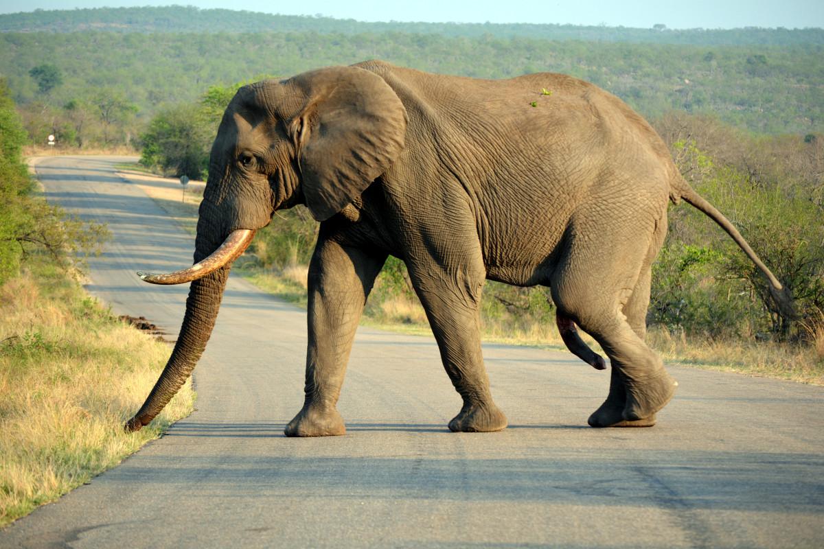 Writerat - penis słonia