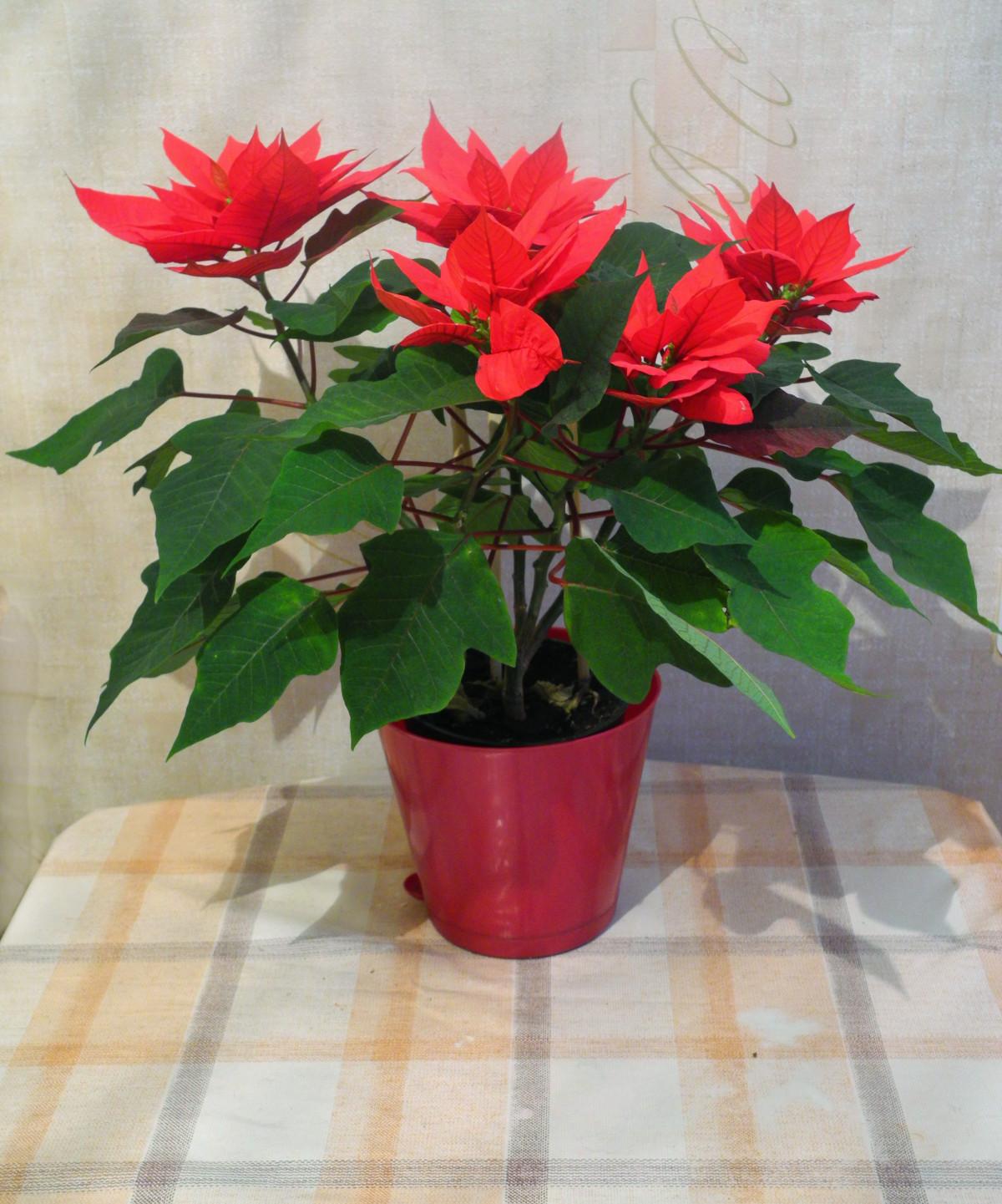 Gambar : menanam, daun bunga, berkembang, merah, bunga ...