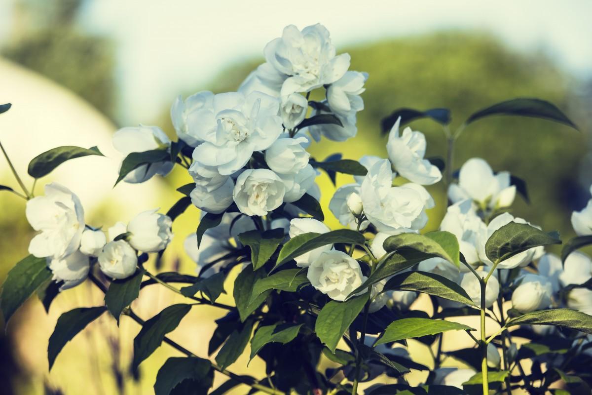 Free images blossom black and white petal botany flora white nature branch blossom plant white flower izmirmasajfo Choice Image