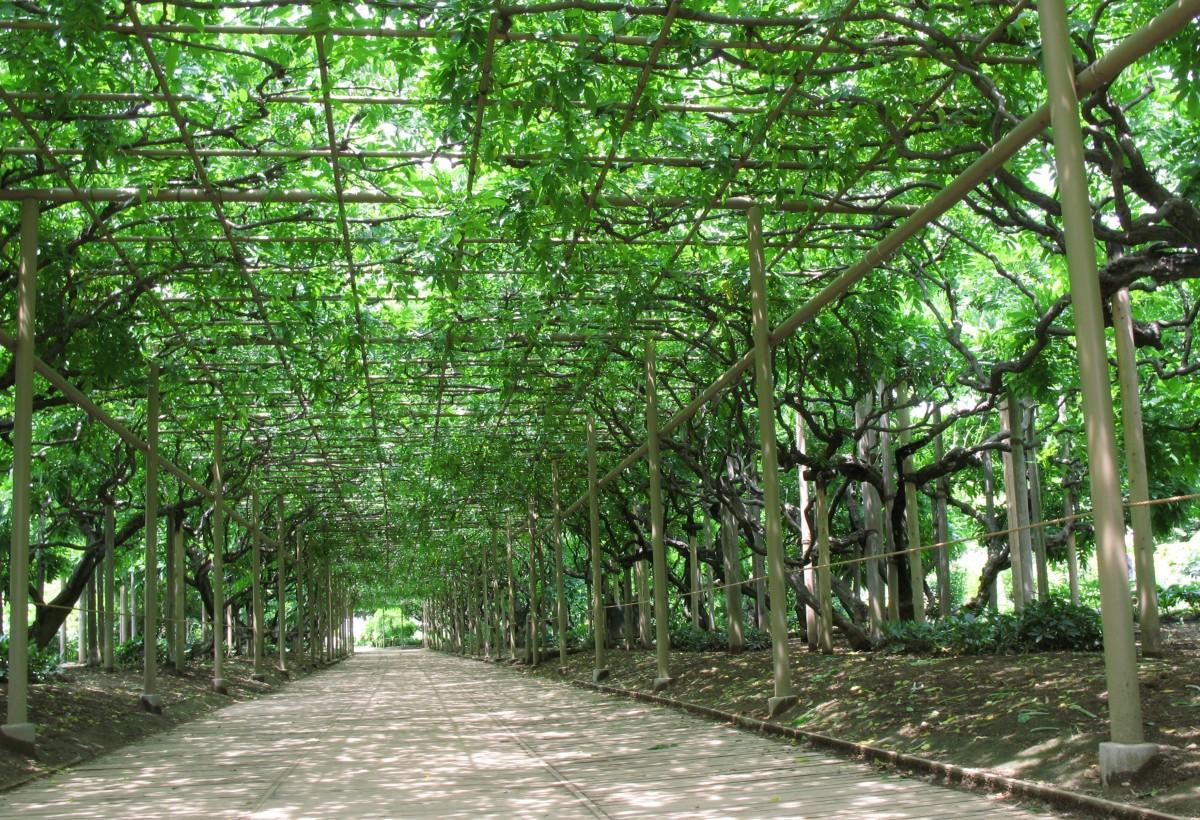 Fotos gratis rbol sendero t nel alto selva parque for Arboles altos para jardin