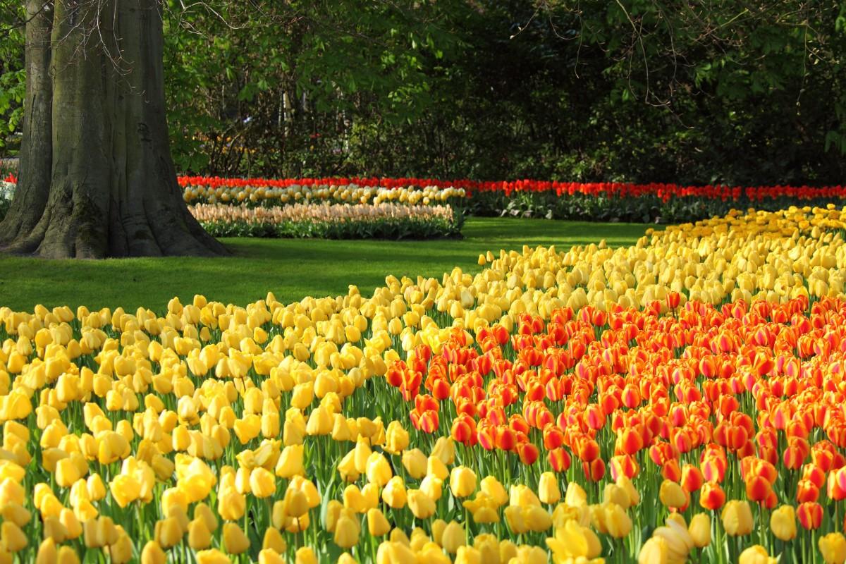 Картинки тюльпанов голландия