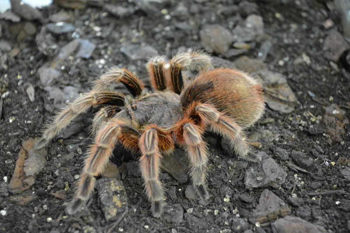 точное картинки с пауками тарантулами может