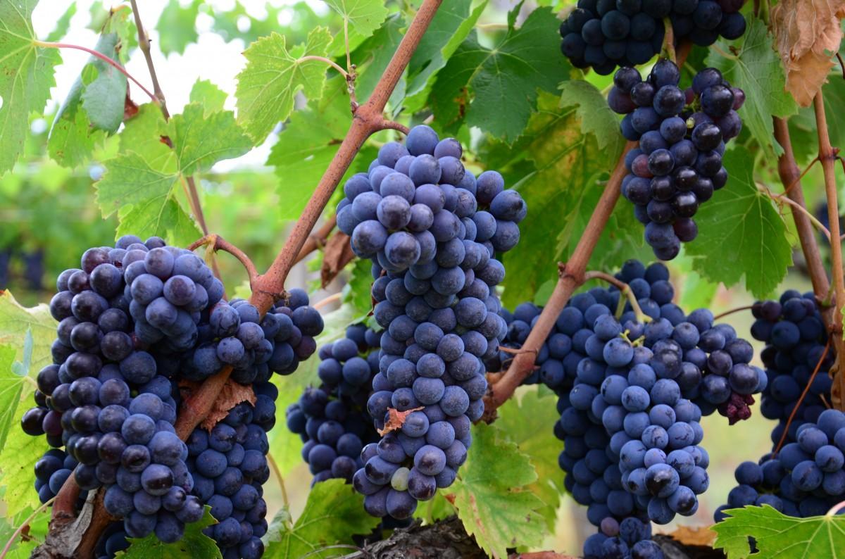 Viinirypäleet Haitat