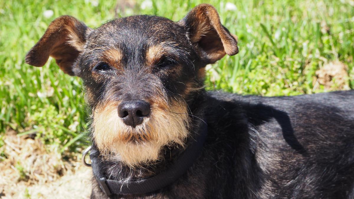 Free Images Animal Pet Vertebrate Schnauzer Dog