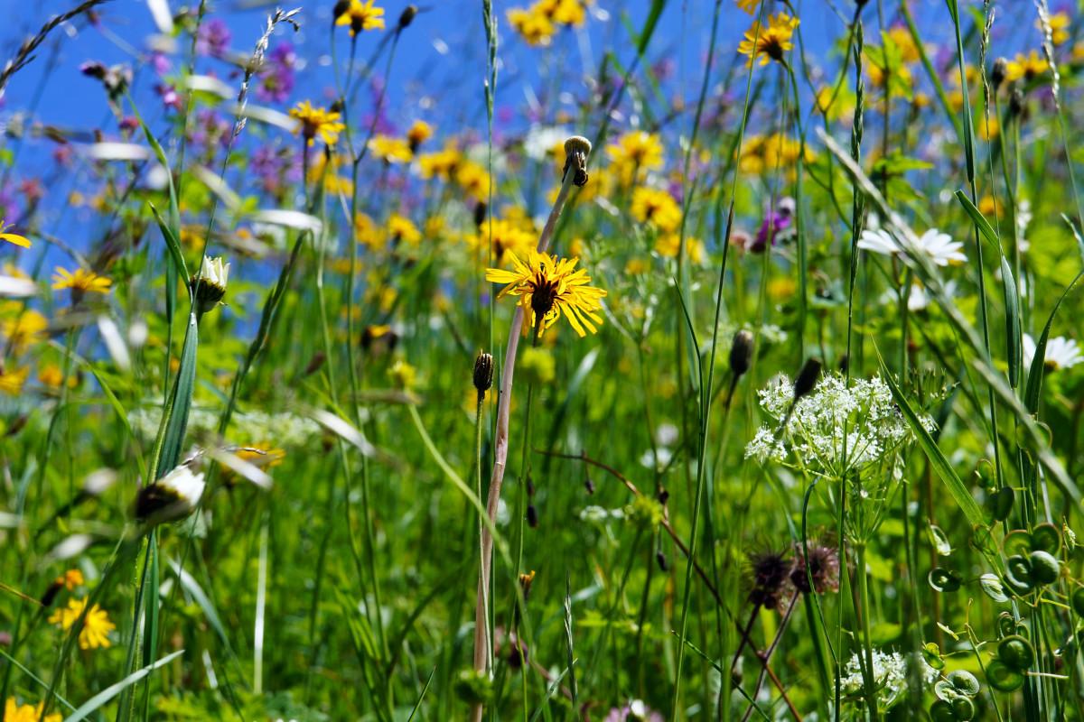 kostenlose foto natur gras feld rasen wiese pr rie sonnenlicht bl hen sommer. Black Bedroom Furniture Sets. Home Design Ideas