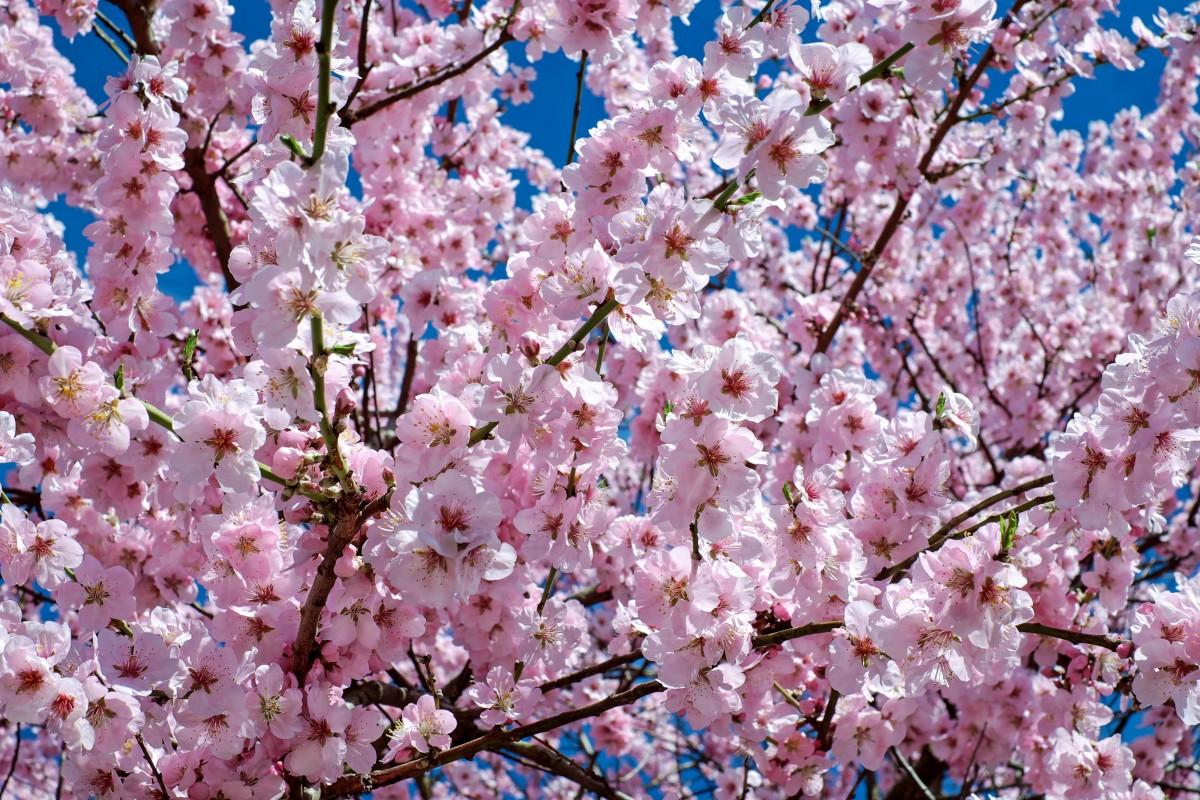 Images gratuites arbre branche p tale printemps couleur color rose fleur de cerisier - Arbre japonais rose ...
