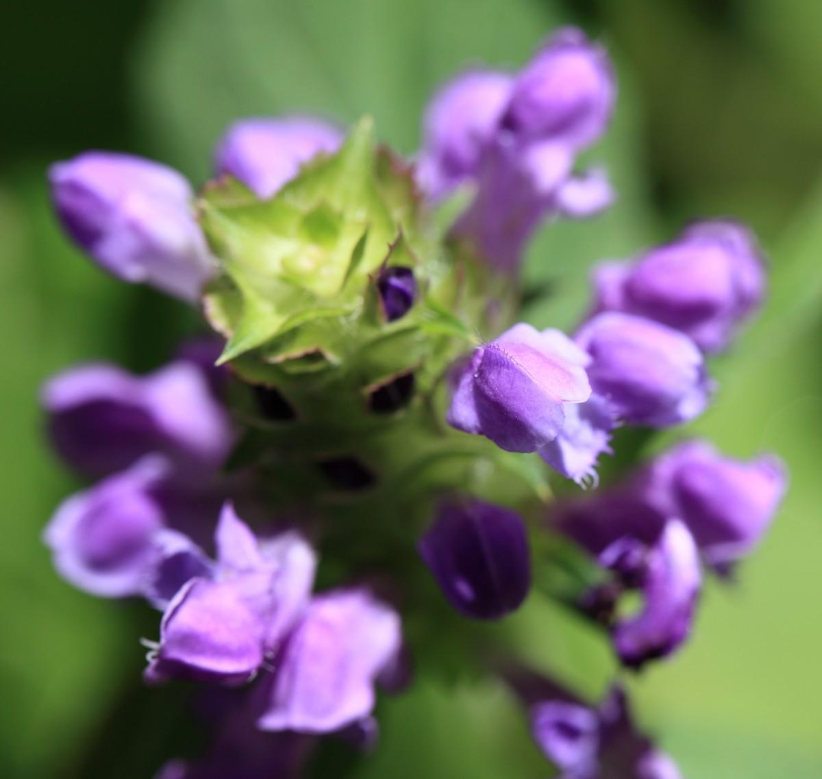 Images gratuites fleur p tale herbe botanique flore for Plante herbe haute