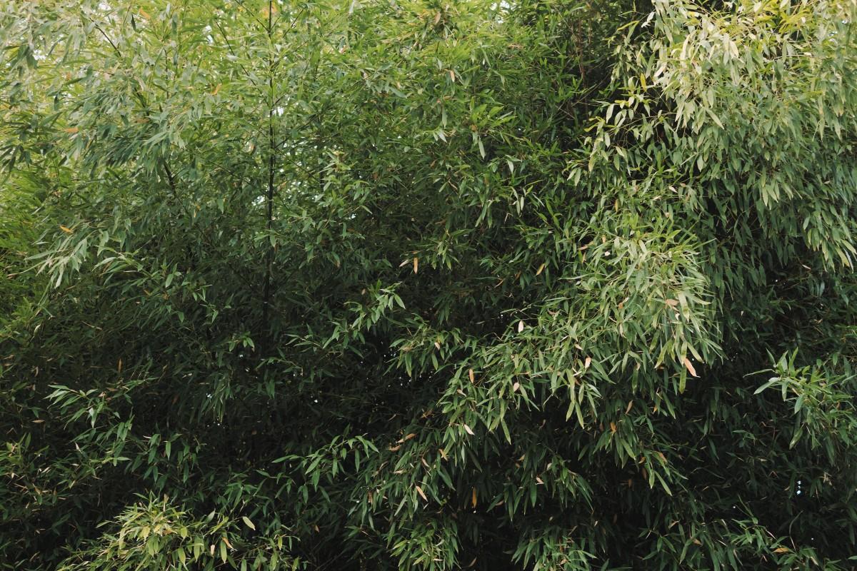 kostenlose foto baum blume kraut produzieren immergr n botanik flora strauch immergr n. Black Bedroom Furniture Sets. Home Design Ideas