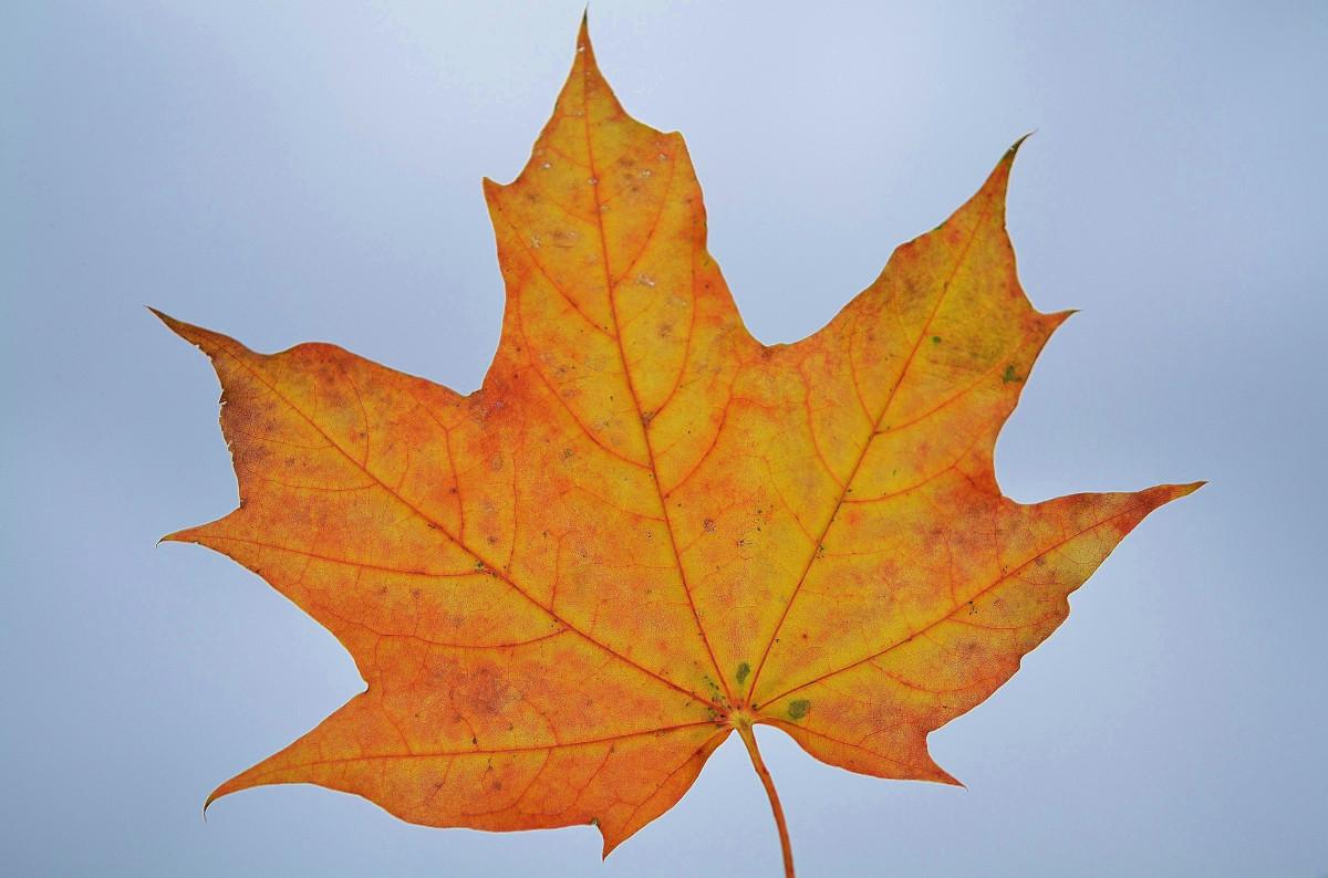 ему картинки красивых осенних листьев по одному обычная