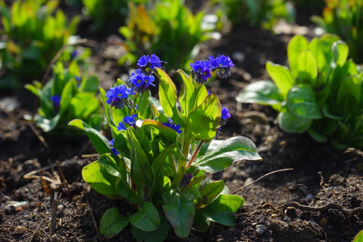 kostenlose foto bl hen blume regentropfen gr n kraut produzieren botanik blau garten. Black Bedroom Furniture Sets. Home Design Ideas