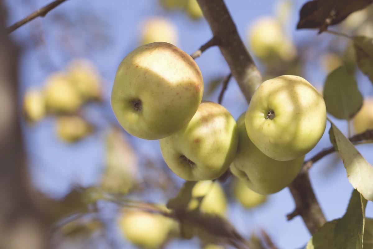green apple fruit tree. apple, tree, nature, outdoor, branch, blossom green apple fruit tree