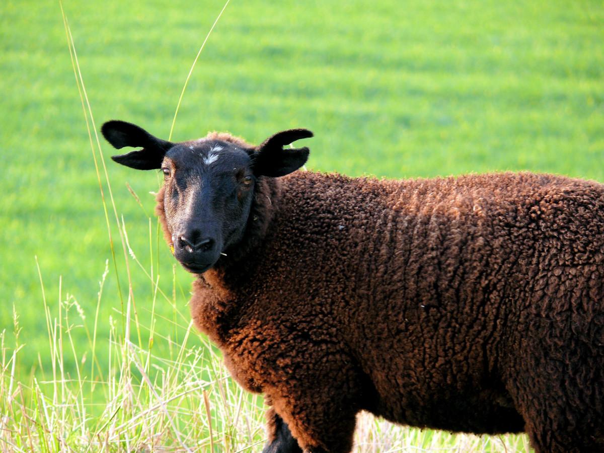 Images gratuites paysage la nature herbe champ - Photos de moutons gratuites ...