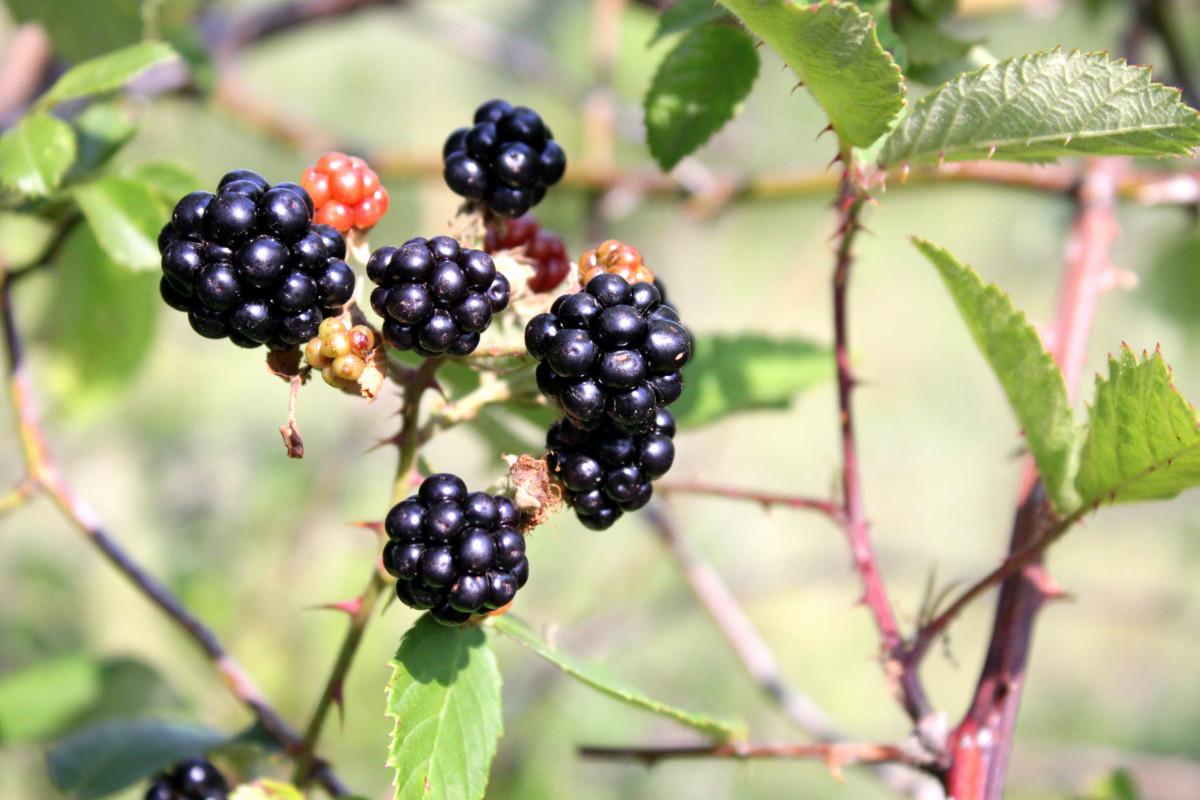 images gratuites bouquet fruit baie feuille aliments produire noir la m re arbuste. Black Bedroom Furniture Sets. Home Design Ideas
