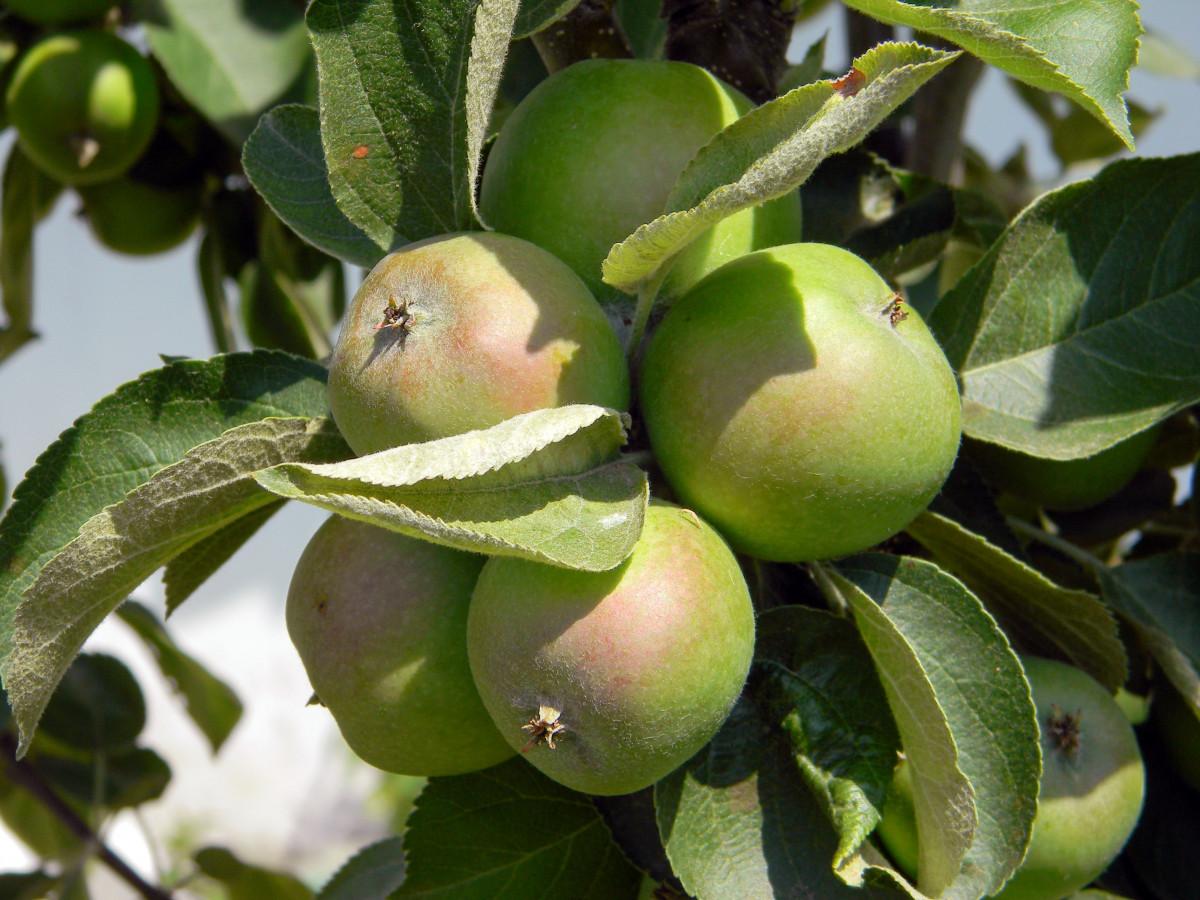 яблоко, дерево, природа, филиал, растение, солнце