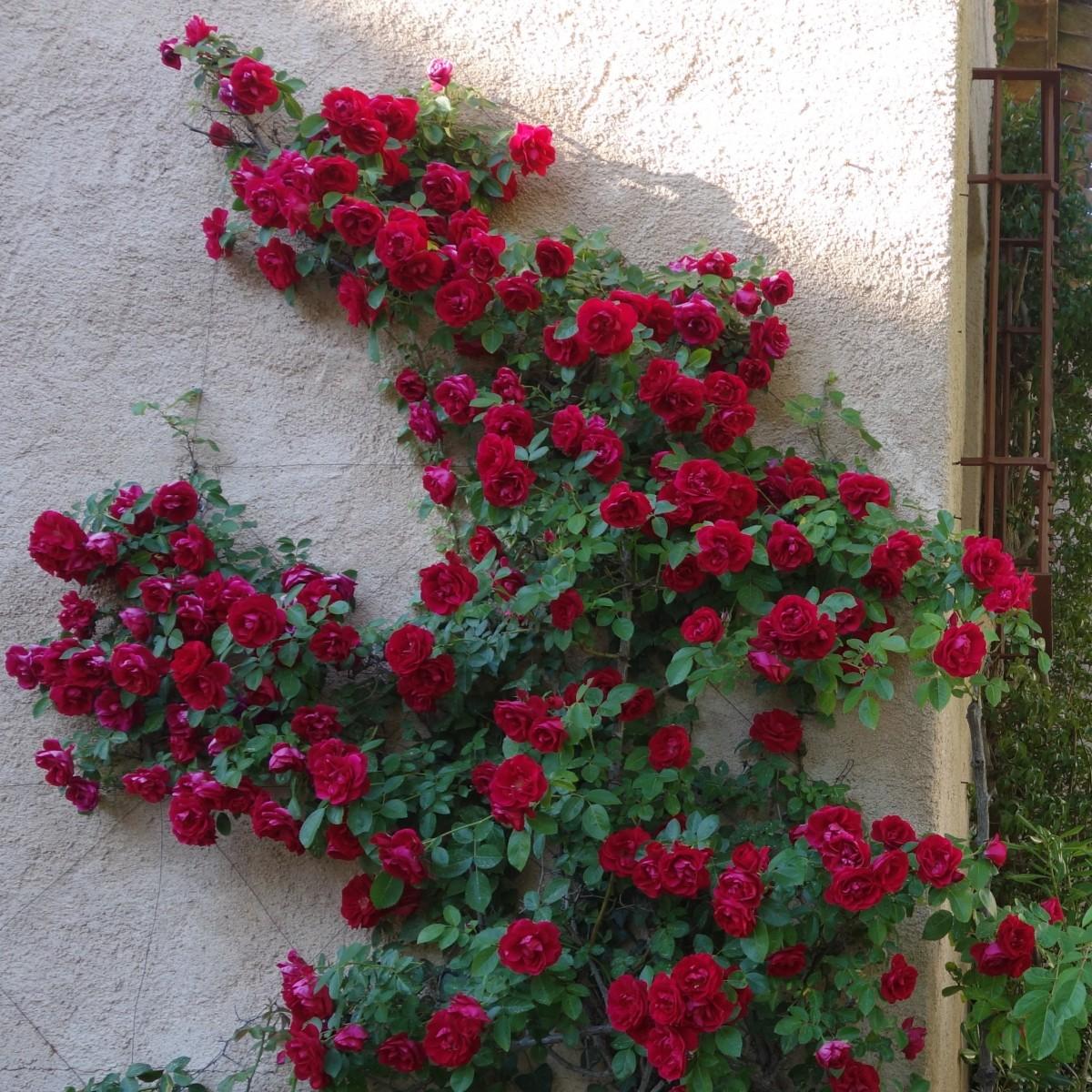 Fotos gratis flor florecer casa rojo flores arbusto for Arbol rojo jardin