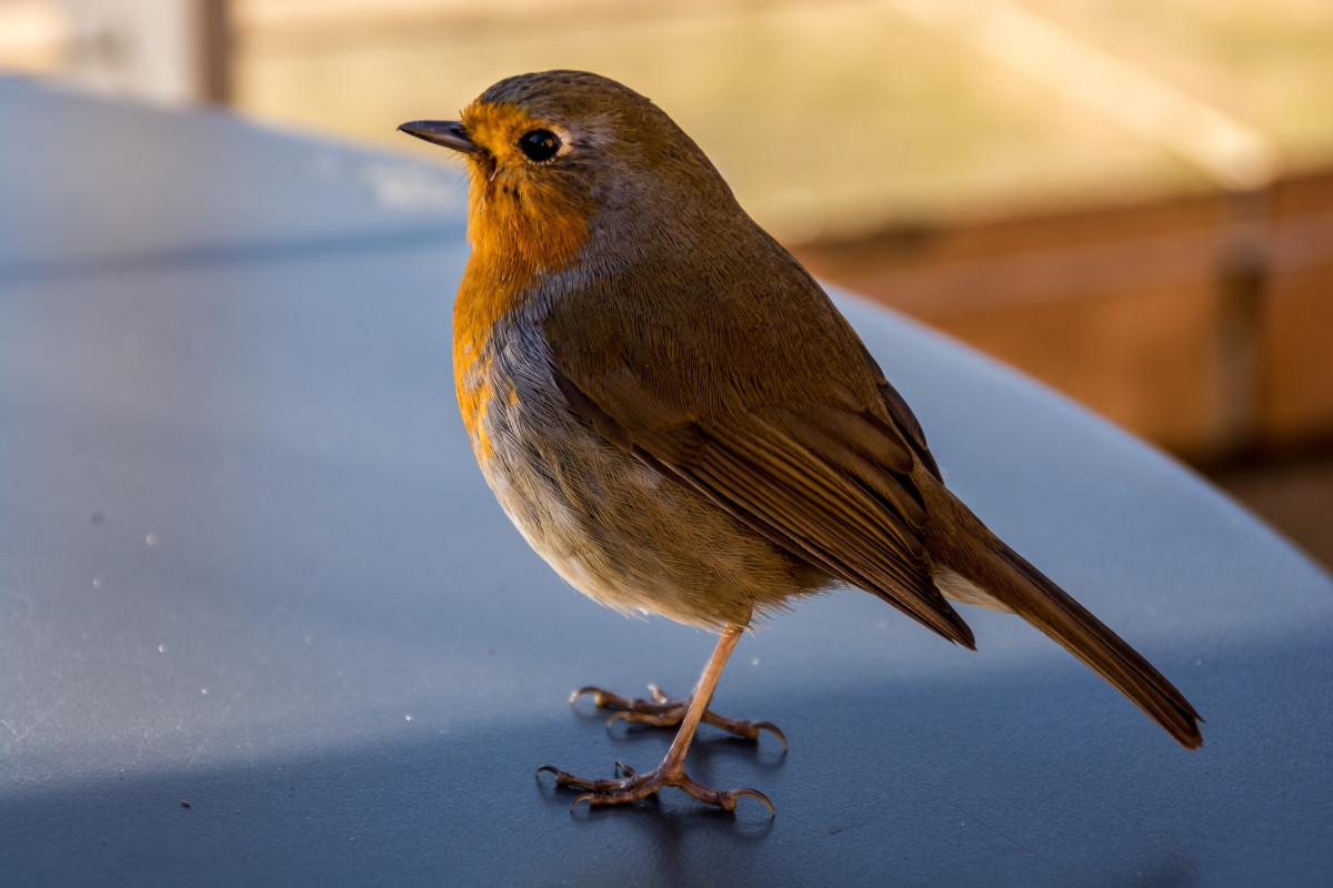 также, певчие птицы украины фото плитка для