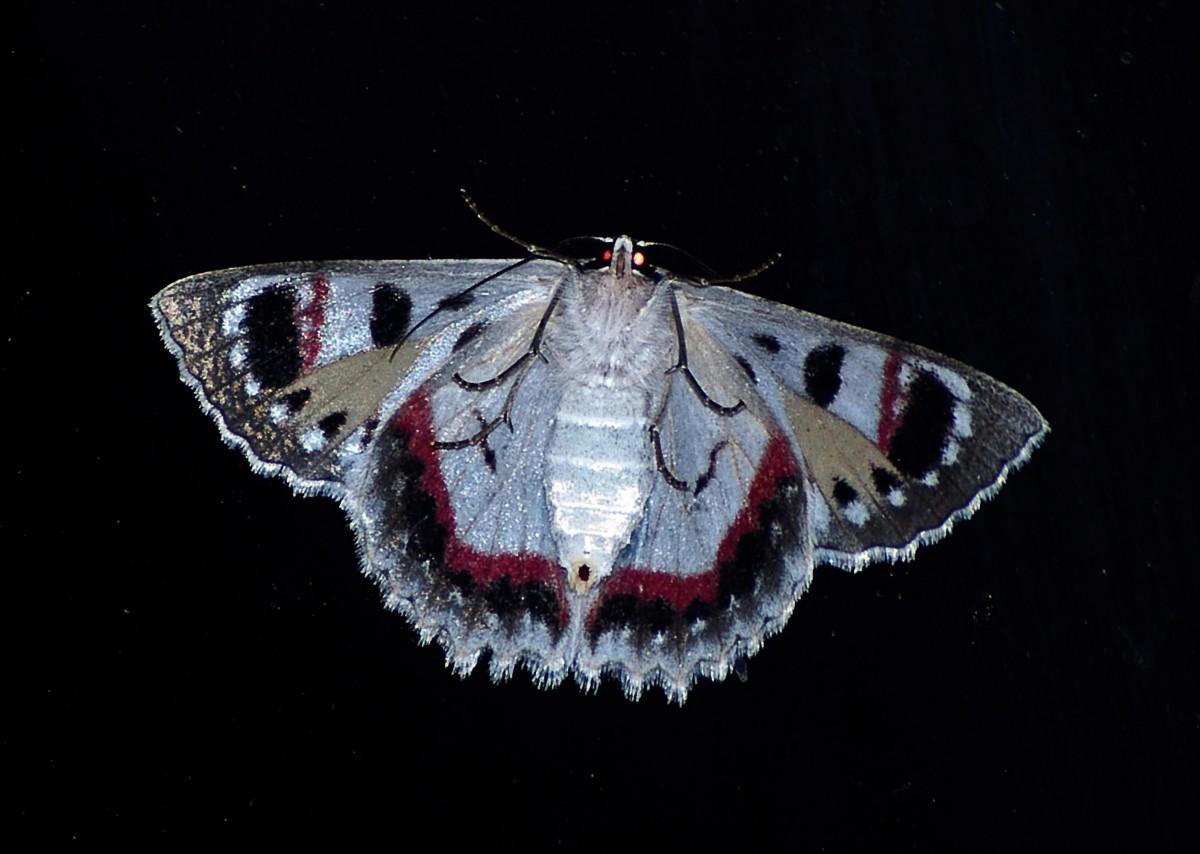 Images gratuites aile blanc sym trique mod le - Modele papillon ...