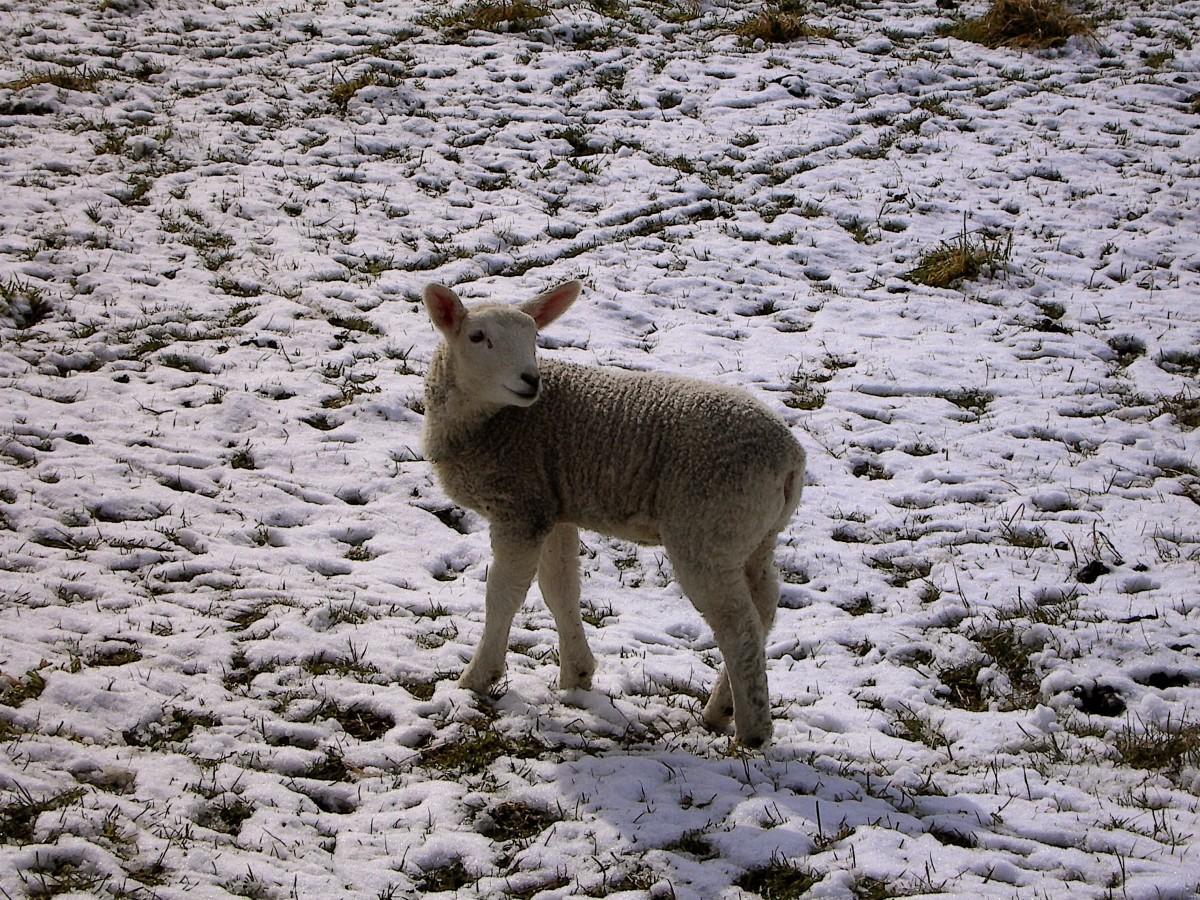 Images gratuites neige hiver faune cerf mouton - Photos de moutons gratuites ...