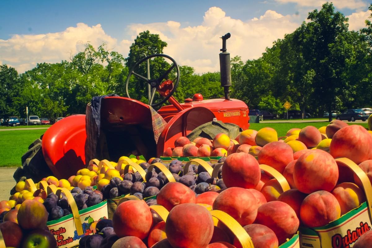 növény traktor Farm vasúti kocsi gyümölcs város élelmiszer aratás gyárt piac mezőgazdaság nyilvános tér napos évszaki virágos növény emberi település szárazföldi növény
