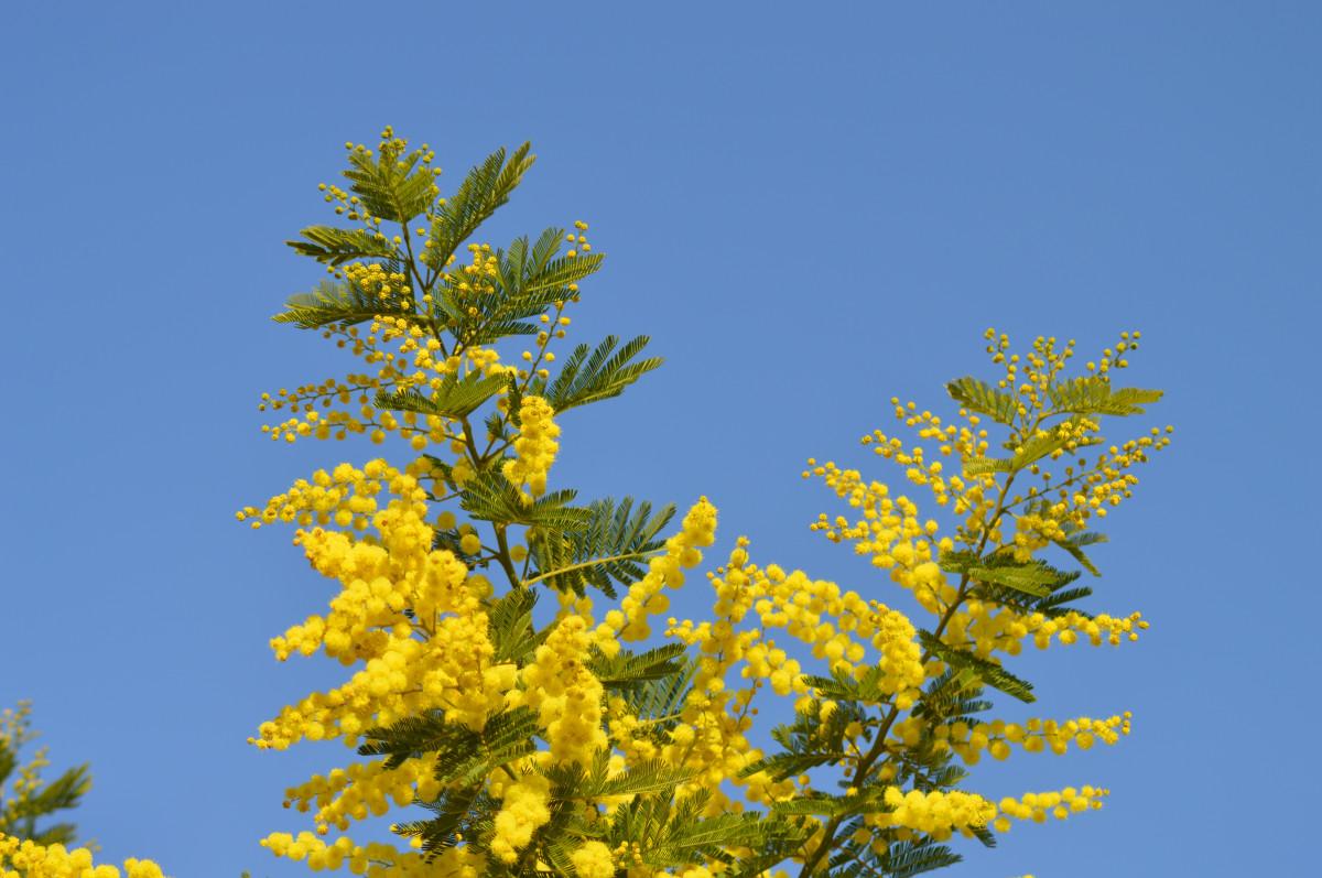 Images gratuites mimosa fleurs fleur jaune france for France fleurs