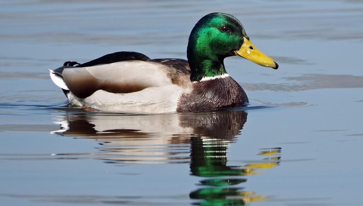 Race de canard sauvage photo