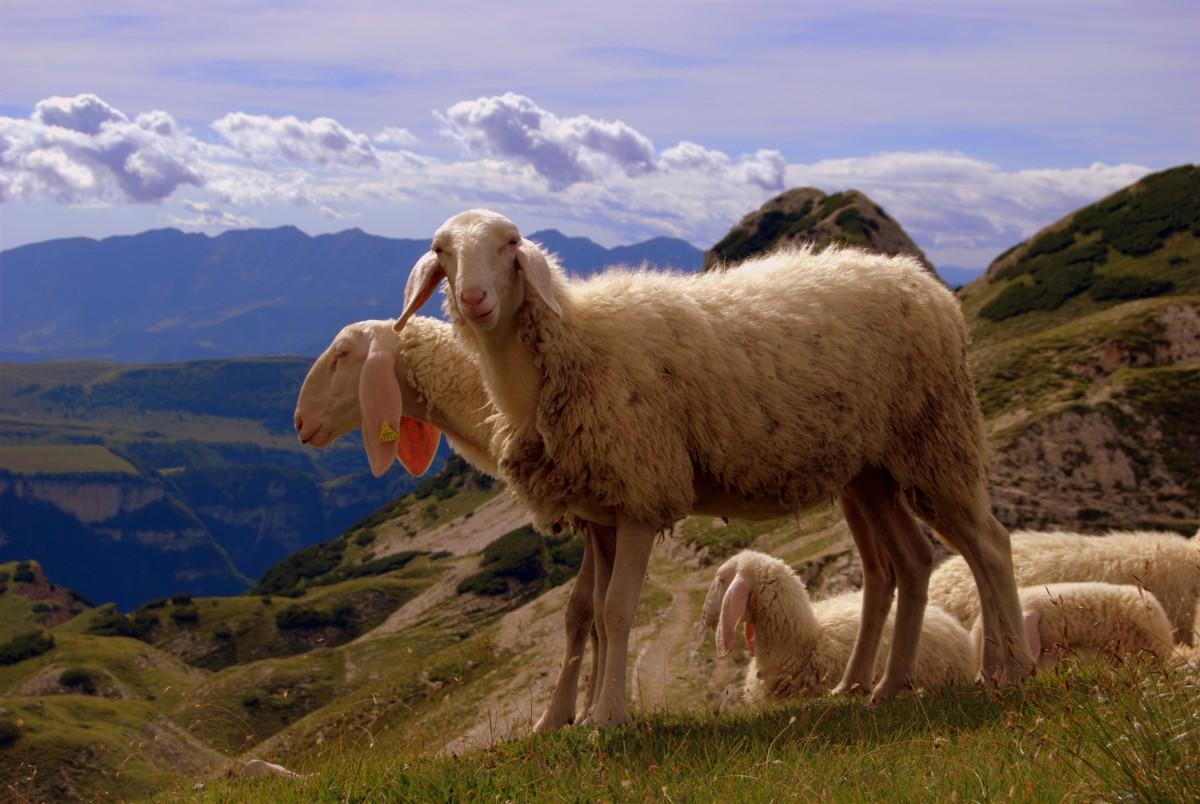 чьих овец пасут чабаны в горах важен