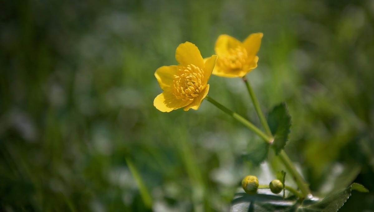 Фото ядовитых цветов лютик
