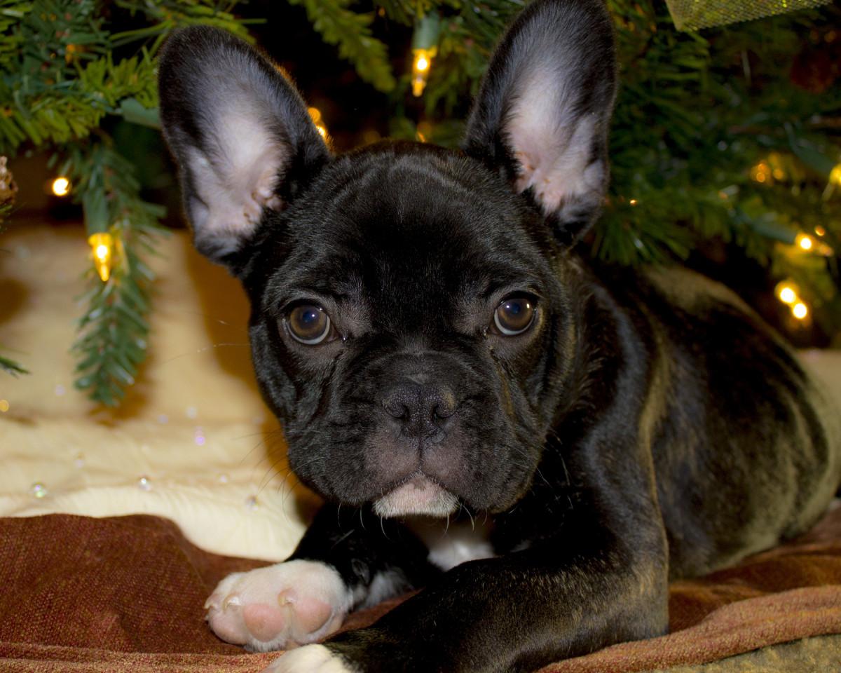 Beautiful Bulldog Canine Adorable Dog - french_bulldog_puppy_christmas_french_breed_doggy_canine_cute-615779  HD_907121  .jpg!d