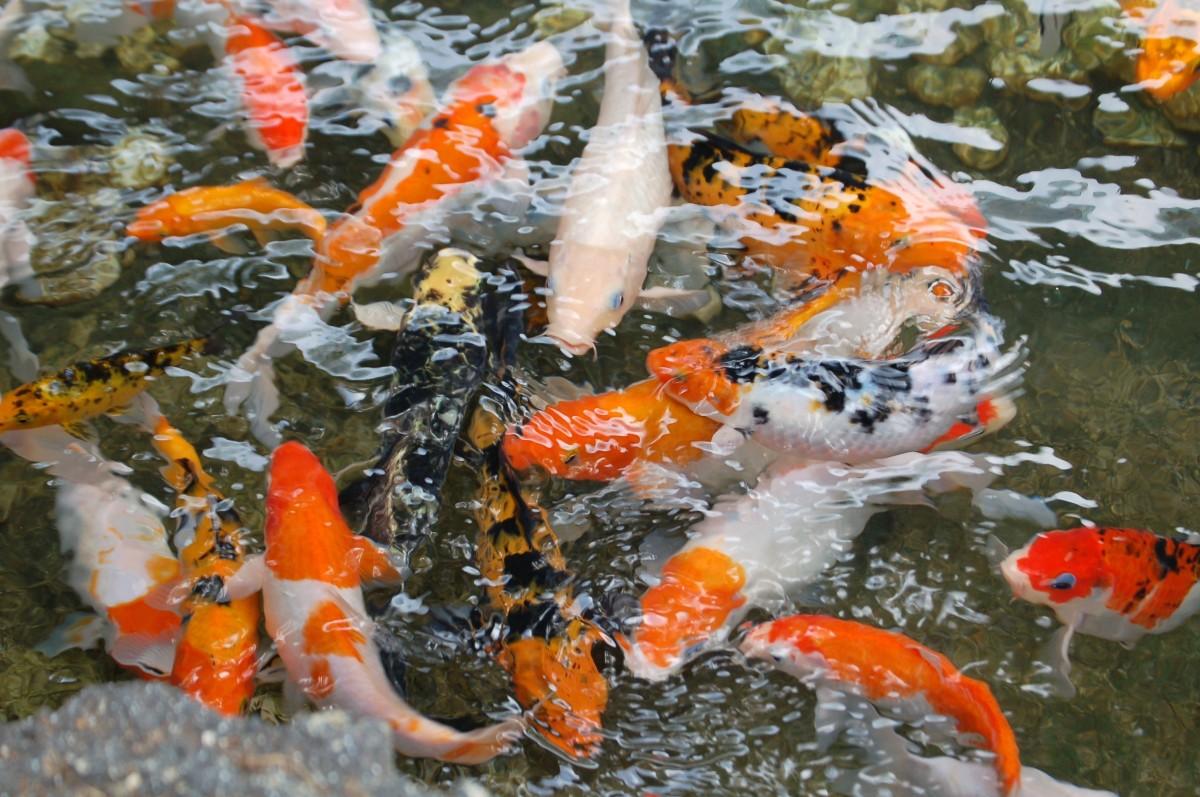Fotos gratis agua pescado pez de colores koi for Estanque carpas koi