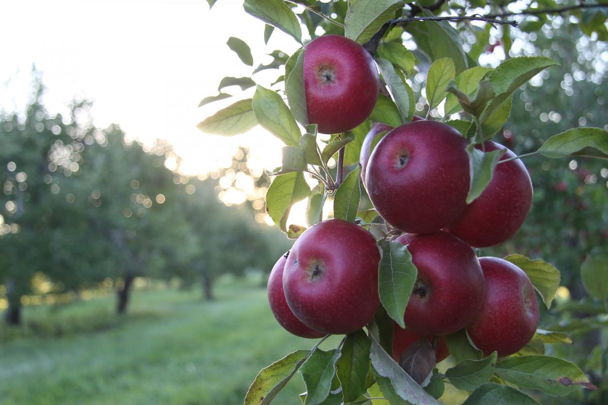 яблоко, дерево, природа, филиал, растение, ферма