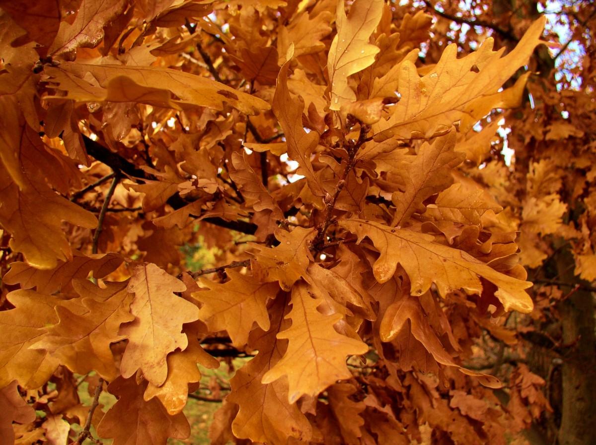 Дуб осенью в картинках