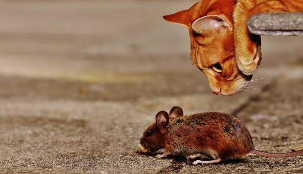 Katze,Säugetier,Maus,Holzmaus,Lauern,Nagetier