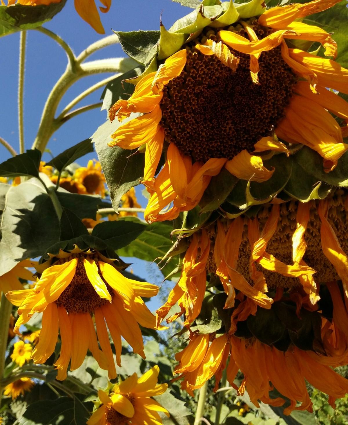 images gratuites feuille fleur p tale l 39 automne botanique jaune flore saison fleur. Black Bedroom Furniture Sets. Home Design Ideas