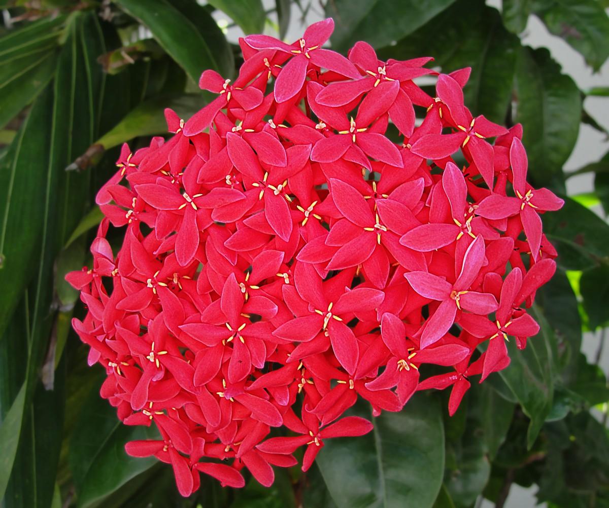 Лихнис: выращивание, посадка и уход - Садовые цветы и 15