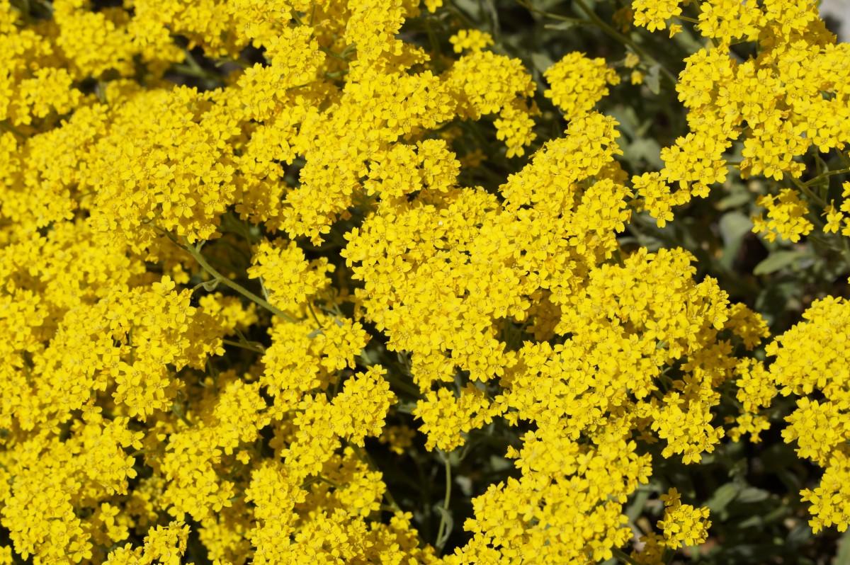 kostenlose foto natur sonnenlicht blume fr hling produzieren bunt gelb garten flora. Black Bedroom Furniture Sets. Home Design Ideas
