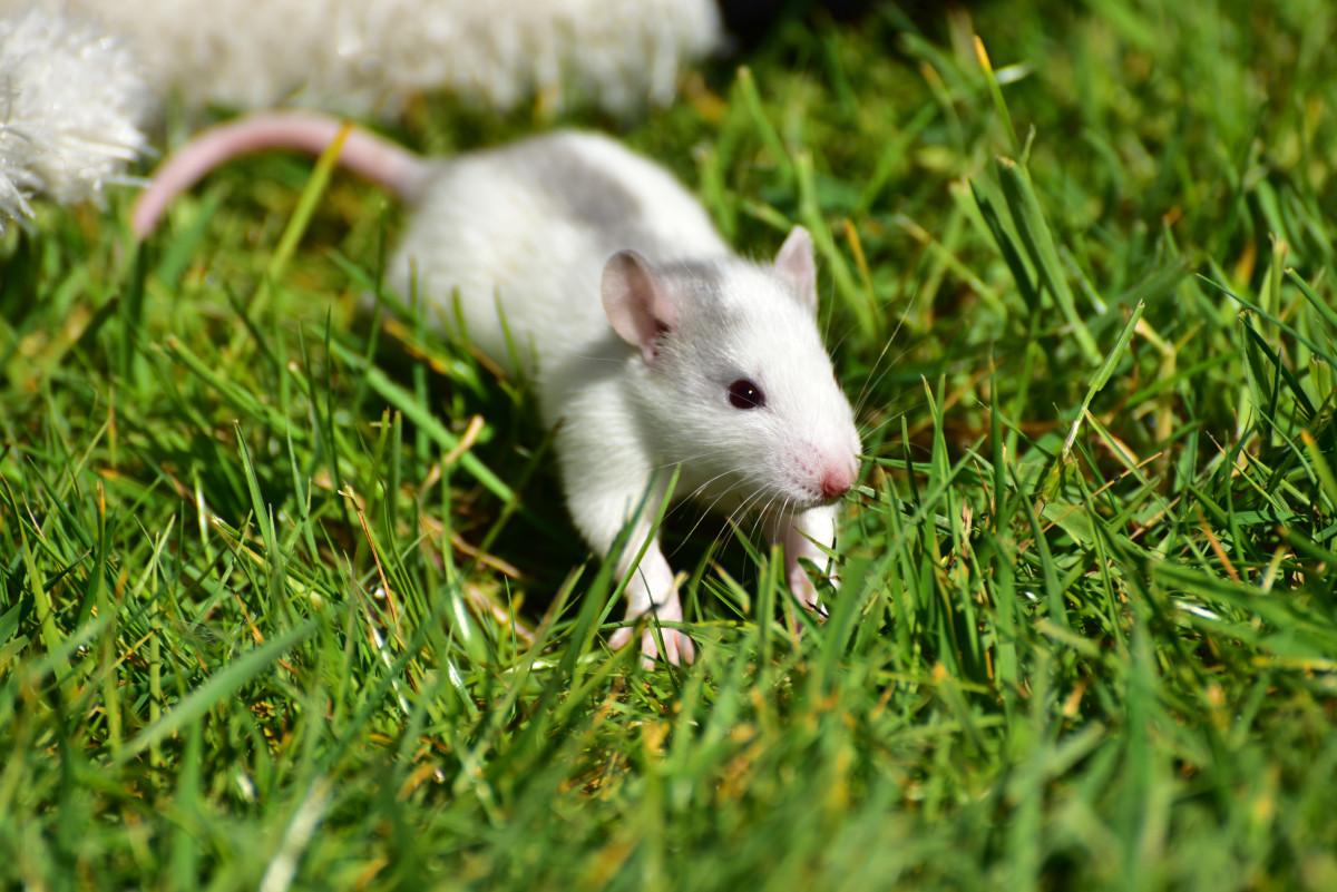 Картинки мыши крысы