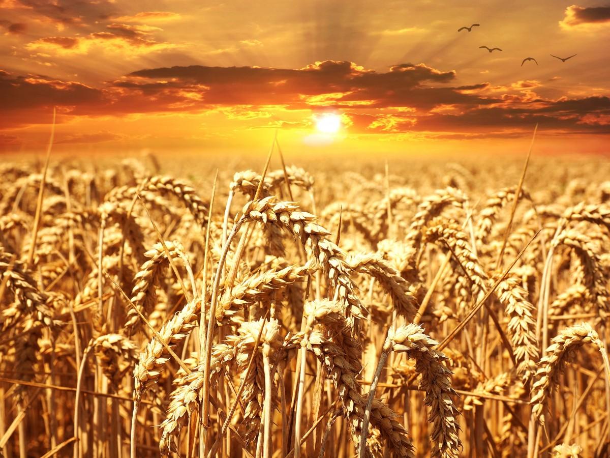 Корейцы Приморья собрали для КНДР 100 тонн пшеницы