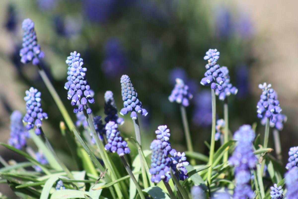 kostenlose foto landschaft gras blume lila bl hen fr hling gr n kraut botanik garten. Black Bedroom Furniture Sets. Home Design Ideas