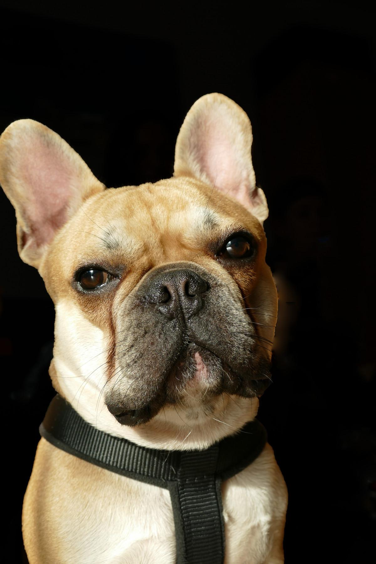 Free Images Sweet Puppy Pet Vertebrate French Bulldog Dog