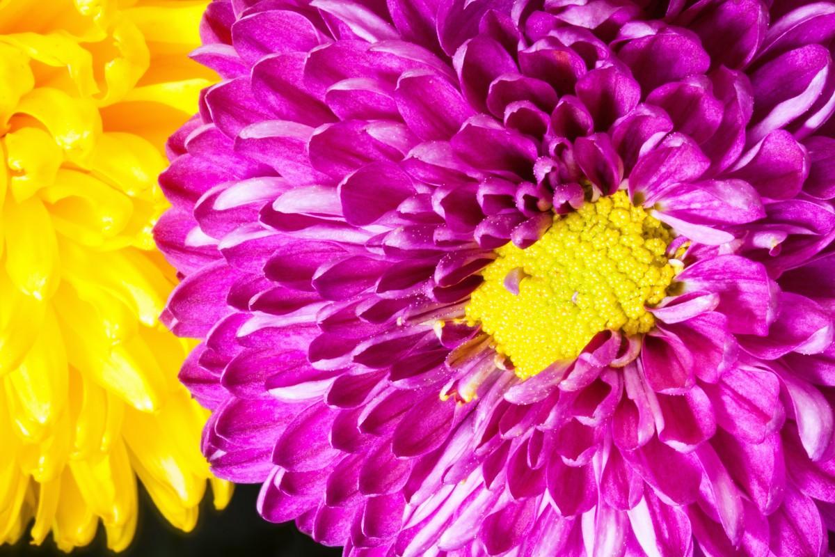 Immagini belle natura fiore petalo fioritura rosso - Dalia pianta ...