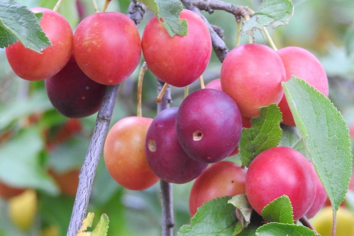 images gratuites branche fruit fleur t aliments produire arbuste arbre fruitier. Black Bedroom Furniture Sets. Home Design Ideas